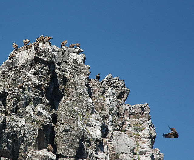 Vultures in Pena Falcon, Monfrague. Bird watching Extremadura
